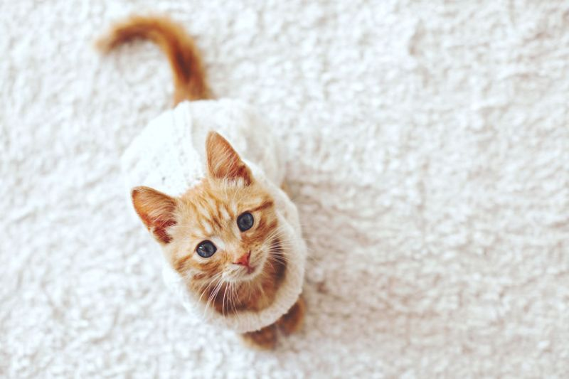 46058507 - cute little ginger kitten wearing warm knitted sweater is sitting on white carpet, top view point